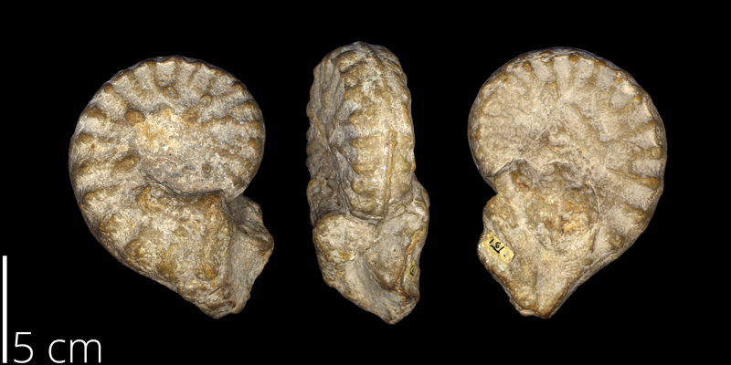 <i> Mortoniceras texanum </i> from the Campanian Austin Chalk Fm. of Bell County, Texas (UNM 161).