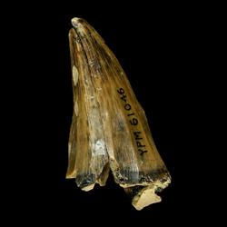 Mosasaurus dekayi