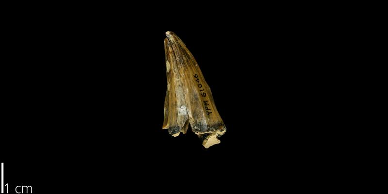 <i> Mosasaurus dekayi </i> from the Maastrichtian Fox Hills Fm. of Ziebach County, South Dakota (YPM VP 061046).