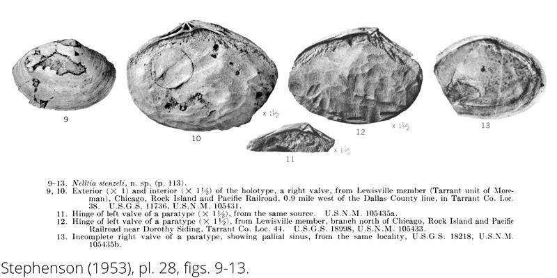 <i> Nelltia stenzeli </i> from the Cenomanian Woodbine Fm. of Texas (Stephenson 1953).