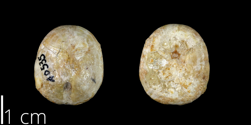 <i> Nucleolites wilderae </i> from the Late Cretaceous Dessau Fm. of Travis County, Texas (UT 40535).