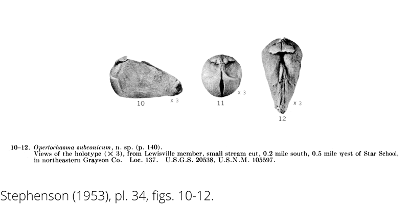 <i> Opertochasma subconicum </i> from the Cenomanian Woodbine Fm. of Texas (Stephenson 1953).