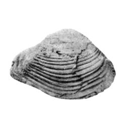 Parmicorbula corneliana