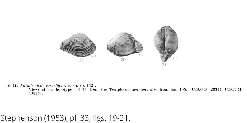 <i> Parmicorbula corneliana </i> from the Cenomanian Woodbine Fm. of Texas (Stephenson 1953).