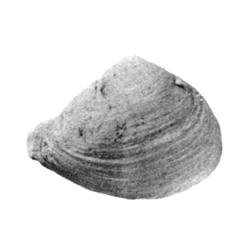 Parmicorbula numerosa