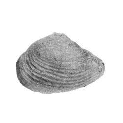 Parmicorbula rupana
