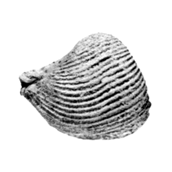 Parmicorbula sinuosa