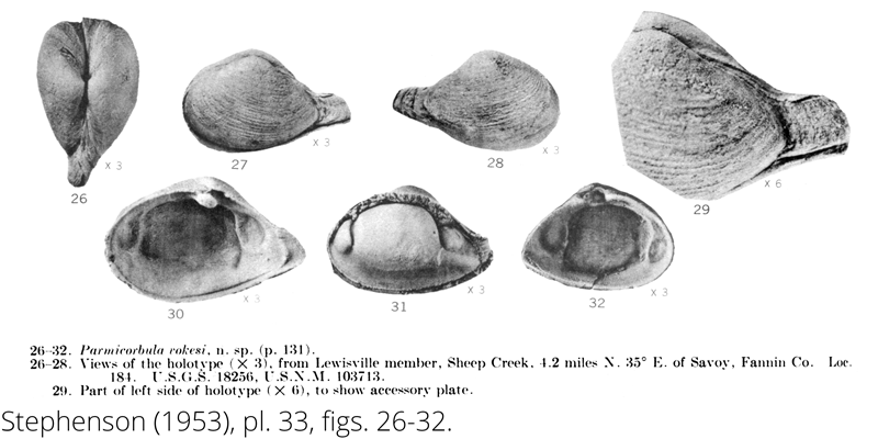 <i> Parmicorbula vokesi </i> from the Cenomanian Woodbine Fm. of Texas (Stephenson 1953).