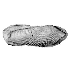 Pholas scaphoides