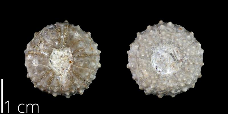 <i> Phymosoma volanum </i> from the Late Cretaceous Buda Limestone of Tarrant County, Texas (NPL 84932).