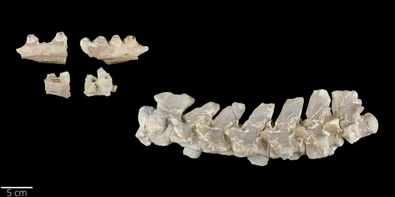 <i> Platecarpus coryphaeus </i> from the Late Cretaceous Niobrara Fm. of Logan County, Kansas (YPM VP 004004).
