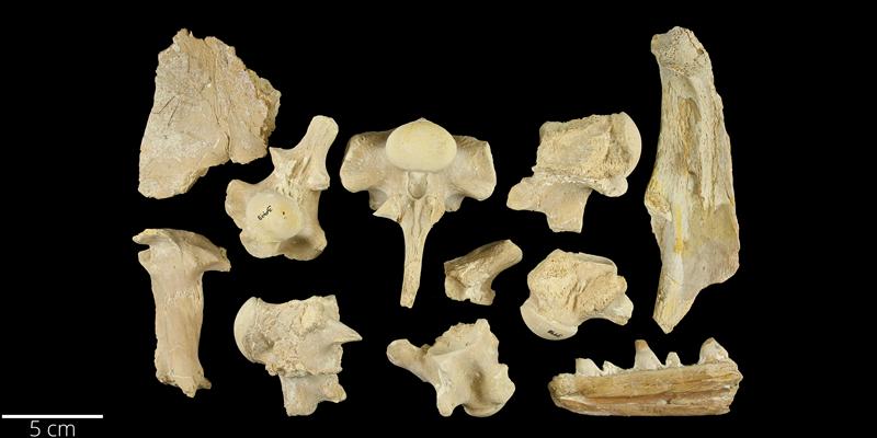 <i> Platecarpus ictericus </i> from the Late Cretaceous Niobrara Fm. of Wallace County, Kansas (YPM VP 003998).