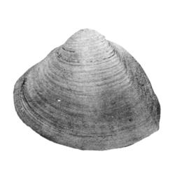 Priscomactra cymba