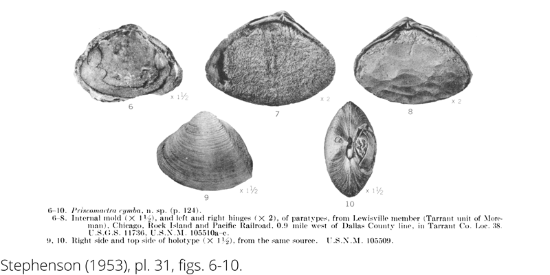 <i> Priscomactra cymba </i> from the Cenomanian Woodbine Fm. of Texas (Stephenson 1953).