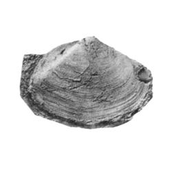 Priscomactra munda