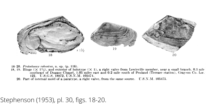 <i> Protodonax robustus </i> from the Cenomanian Woodbine Fm. of Texas (Stephenson 1953).