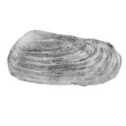 Protodonax lingulatus