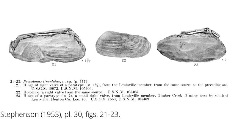 <i> Protodonax lingulatus </i> from the Cenomanian Woodbine Fm. of Texas (Stephenson 1953).