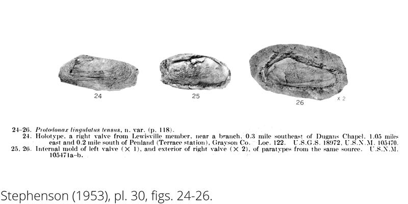 <i> Protodonax lingulatus tensus </i> from the Cenomanian Woodbine Fm. of Texas (Stephenson 1953).