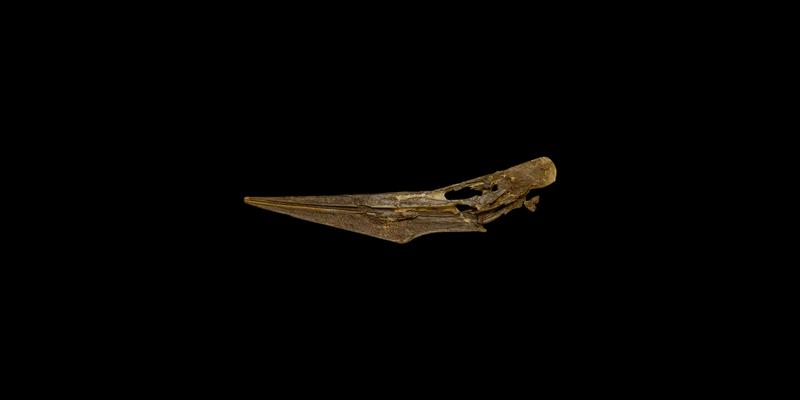 <i> Pteranodon longiceps </i> from the Late Cretaceous Niobrara Fm. of Gove County, Kansas (YPM VP 001177).