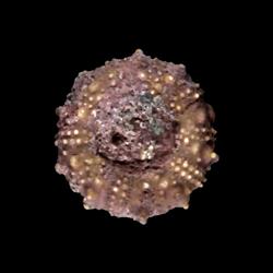 Salenia pseudowhitneyi