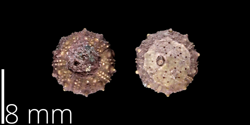 <i> Salenia pseudowhitneyi </i> from the Late Cretaceous Austin Chalk of Travis County, Texas (NPL 48838).