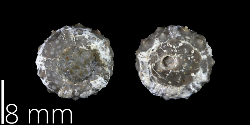 <i> Salenia stenzeli </i> from the Late Cretaceous Grayson Marl of El Paso County, Texas (UT 40550).