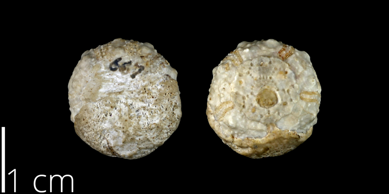 <i> Salenia volana </i> from the Late Cretaceous Buda Limestone Fm. of Travis County, Texas (UT 47538).