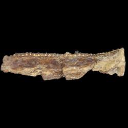 Saurodontidae