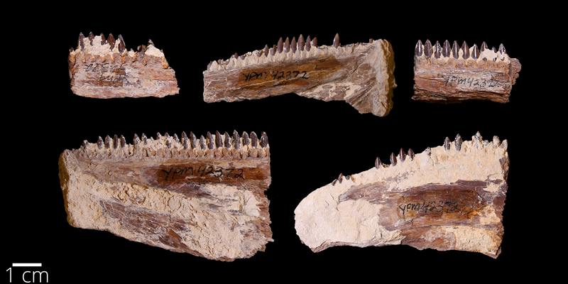 <i> Saurodon leanus </i> from the Late Cretaceous Niobrara Fm. of Kansas (YPM VP 042372).