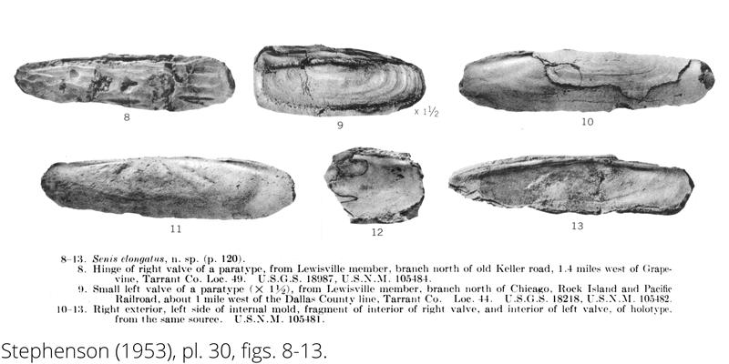 <i> Senis elongatus </i> from the Cenomanian Woodbine Fm. of Texas (Stephenson 1953).