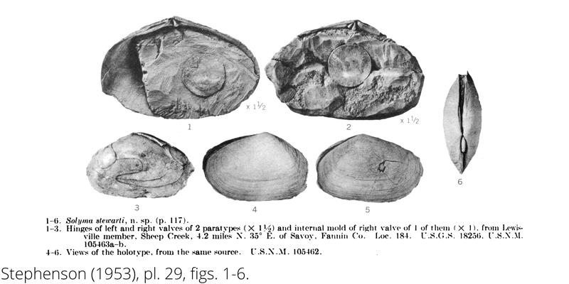 <i> Solyma stewarti </i> frome the Cenomanian Woodbine Fm. of Texas (Stephenson 1953).