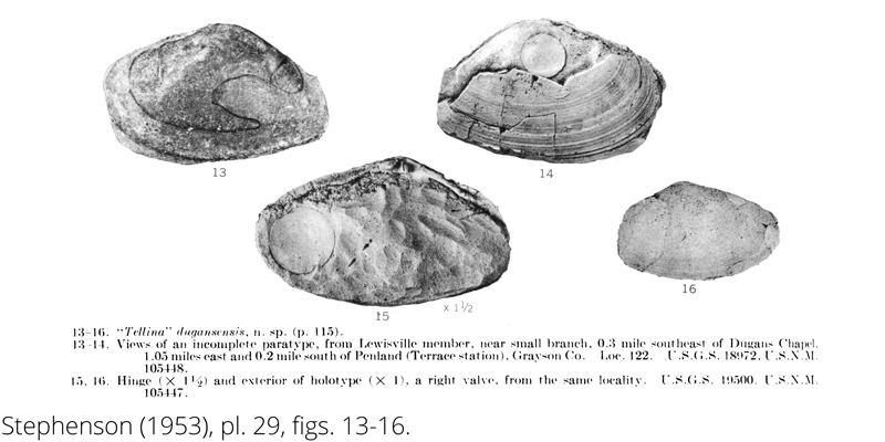 <i> Tellina dugansensis </i> from the Cenomanian Woodbine Fm. of Texas (Stephenson 1953).