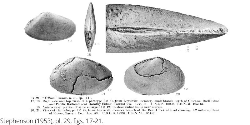 <i> Tellina rivana </i> from the Cenomanian Woodbine Fm. of Texas (Stephenson 1953).