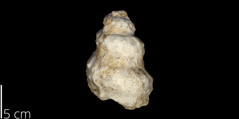 <i> Turrilites brazoensis </i> from the Cenomanian Grayson Fm. of Denton County, Texas (UNM 4470).