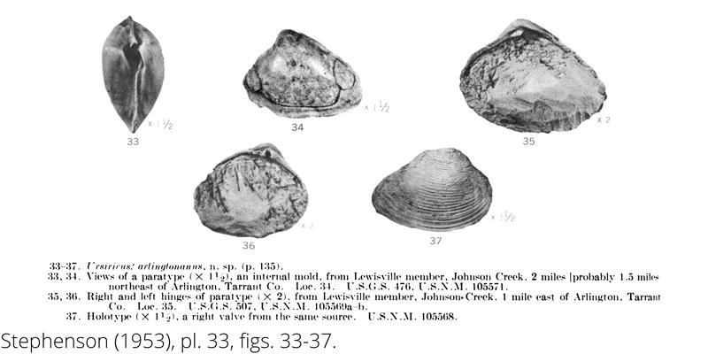 <i> Ursirivus arlingtonanus </i> from the Cenomanian Woodbine Fm. of Texas (Stephenson 1953).