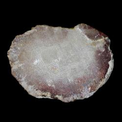 Actinostromaria dehorneae