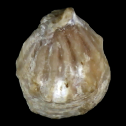 Anomia geniculata