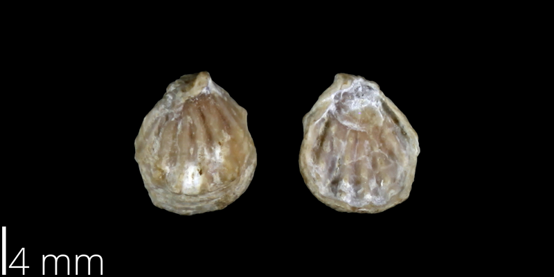 <i> Anomia geniculata </i> from the Late Cretaceous Buda Limestone Fm. of Travis County, Texas (UT 03901).