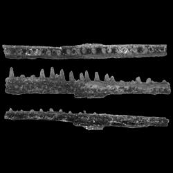 Belonostomus longirostris