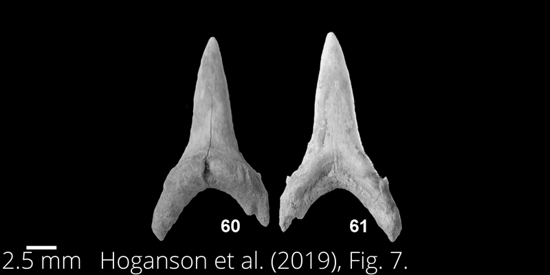 <i> Carcharias samhammeri </i> from the Maastrichtian Fox Hills Fm. of North Dakota. Image is derived from Hoganson et al. (2019; Bulletins of American Paleontology No. 398) and is used here with permission of the Paleontological Research Institution, which retains the copyright.