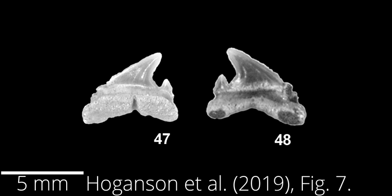<i> Carcharias tenuiplicatus </i> from the Maastrichtian Fox Hills Fm. of North Dakota. Image is derived from Hoganson et al. (2019; Bulletins of American Paleontology No. 398) and is used here with permission of the Paleontological Research Institution, which retains the copyright.