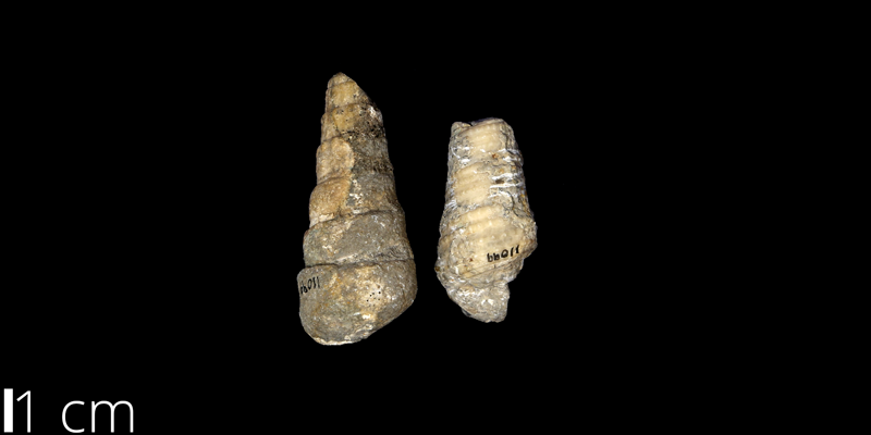 <i> Cerithium bosquense </i> from the Albian Comanche Peak Limestone Fm. of Lubbock County, Texas (UNM 11099).