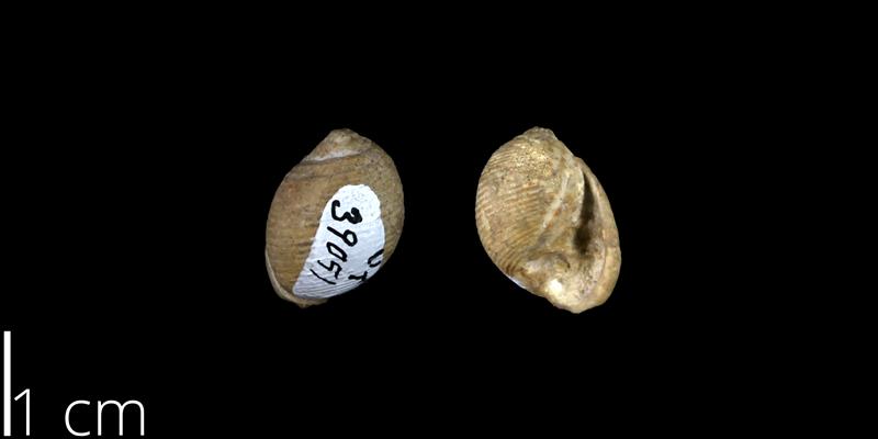 <i> Cinulia pelleti </i> from the Late Cretaceous Buda Limestone Fm. of Travis County, Texas (UT 39051).