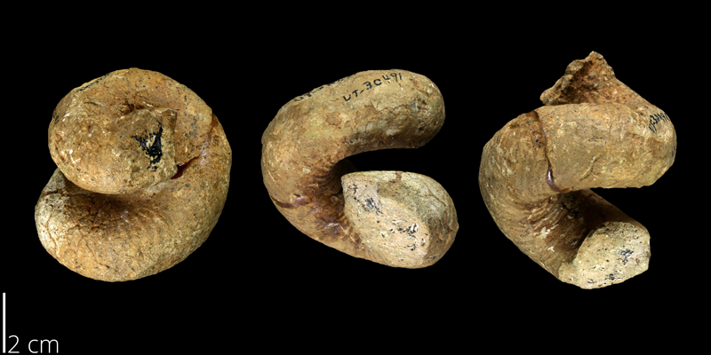 <i> Cirroceras reevesi </i> from the Late Cretaceous Anacacho Fm. of Medina County, Texas (UT 30491).