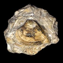 Corbicula umbonella