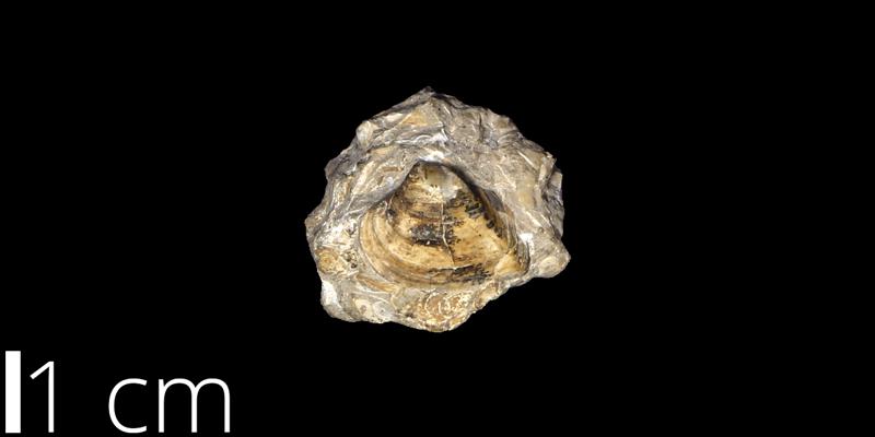 <i> Corbicula umbonella </i> from the Campanian/Maastrichtian Laramie Fm. of Arapahoe County, Colorado (UNM 210).