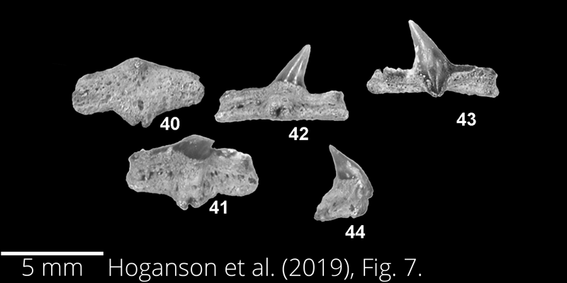 <i> Cretorectolobus olsoni </i> from the Maastrichtian Fox Hills Fm. of North Dakota. Image is derived from Hoganson et al. (2019; Bulletins of American Paleontology No. 398) and is used here with permission of the Paleontological Research Institution, which retains the copyright.