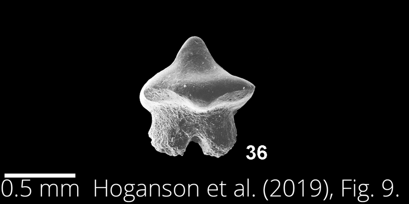 <i> Dasyatis northdakotaensis </i> from the Maastrichtian Fox Hills Fm. of North Dakota. Image is derived from Hoganson et al. (2019; Bulletins of American Paleontology No. 398) and is used here with permission of the Paleontological Research Institution, which retains the copyright.