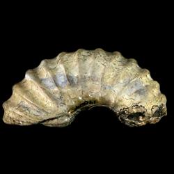 Eucalycoceras dentonense